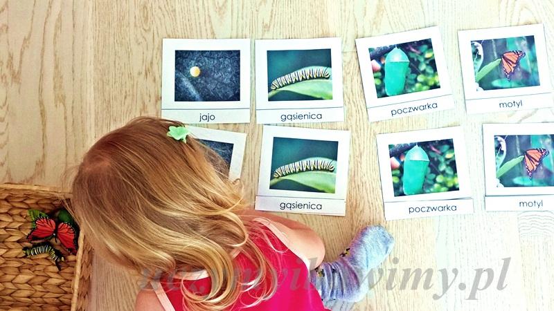 Cykl życia motyla - karty trójdzielne