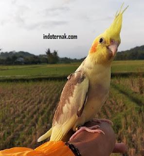 burung akan FTM (Fly To Me)
