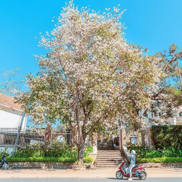Tháng 3, hoa ban nở khắp các con đường Hà Nội
