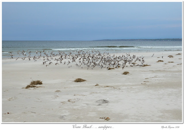 Crane Beach: ... sandpipers...