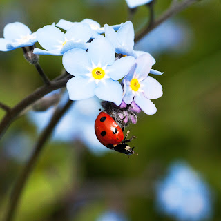 Closeup of a black and red ladybug beetle dangling from the bottom of a cluster of white flowers Photo by Janice Gill on Unsplash