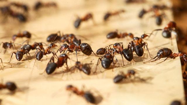 Semut Ini Bercocok Tanam
