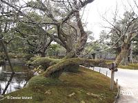 Supporting a horizontal trunk - Kenroku-en Garden, Kanazawa, Japan