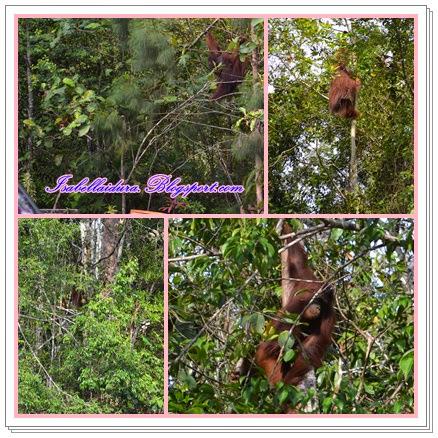 orang hutan besar, Kuching Sarawak