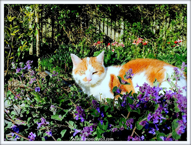 Amber's Supurr Happy Catmint Experience  ©BionicBasil® The Pet Parade 373