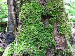 Rosette des forêts - Rhodobryum ontariense