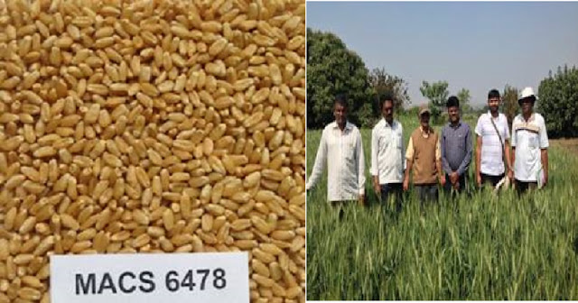New wheat variety  MACS 6478  will help farmers of Maharashtra to double their yield
