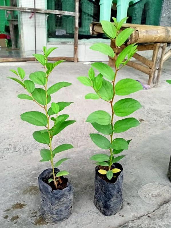 BIBIT POHON BIDARA ARAB POHON SURGA Jayapura