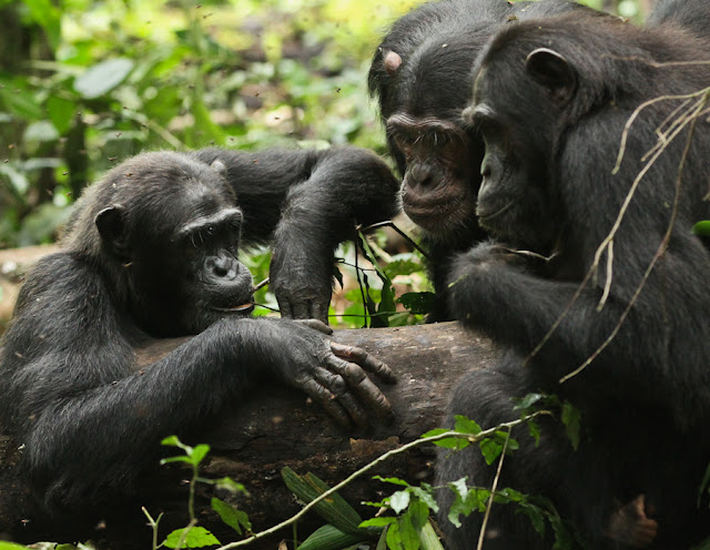 Travel broadens chimps' horizons too