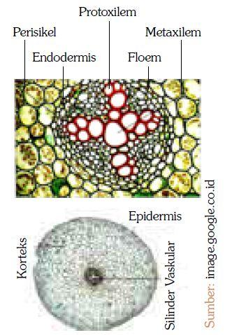 Struktur Jaringan pada Tumbuhan