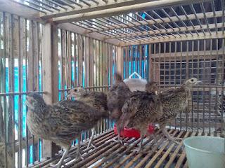 Ringneck Pheasant Usia 1 Bulan