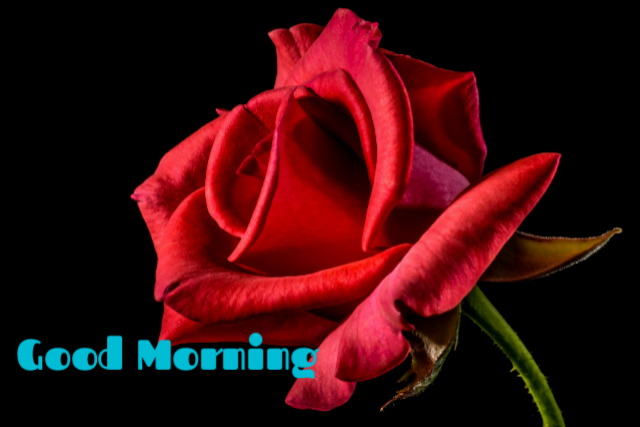 Good morning download red rose image