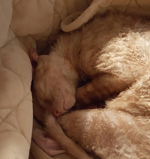 Cornish Rex cat curled up sleeping