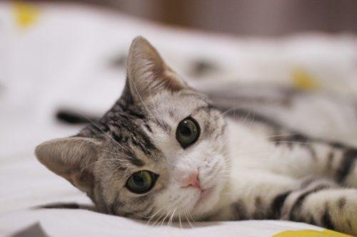 Hiperkalsemia pada Kucing
