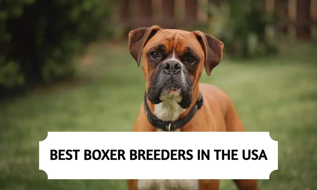 Best Boxer Breeders in the USA