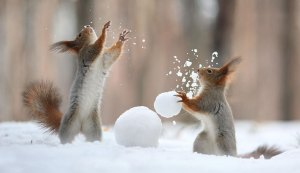 Two squirrels playing with snowballs.