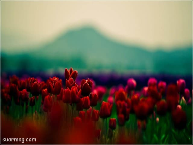 صور ورد - ورد احمر 14 | Flowers Photos - Red Roses 14