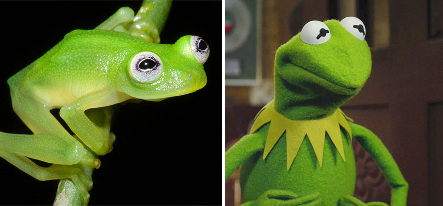 kermit-frog-lookalike-discovered-diane-bare-hearted-glassfrog-hyalinobatrachium-dianae-costa-rica-1