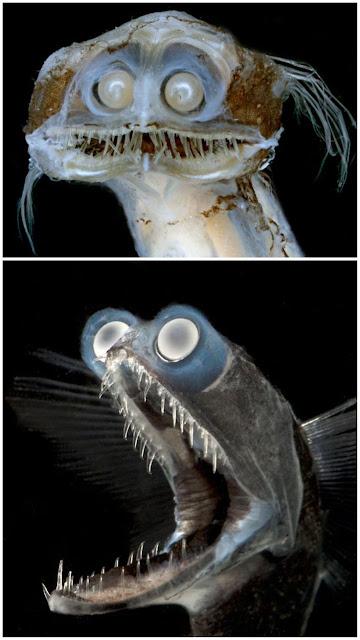Deep sea fish tgat looks like an Elf.