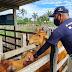 Governo do Estado inicia segunda etapa da campanha Amazonas sem Febre Aftosa