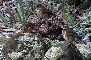 wildlife, birds, redwings,