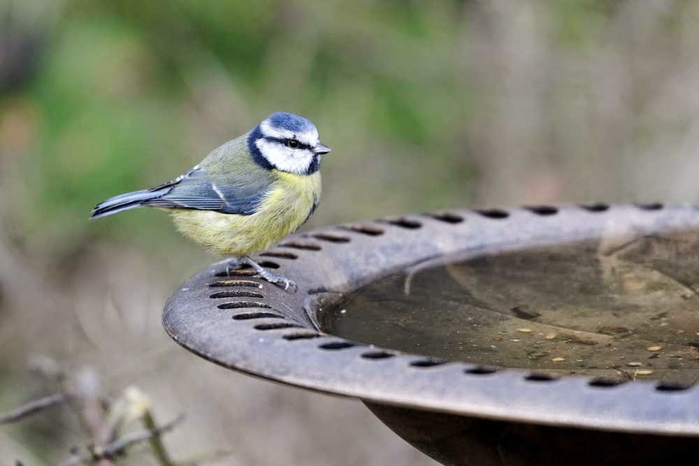 Blue Tit bird in the garden