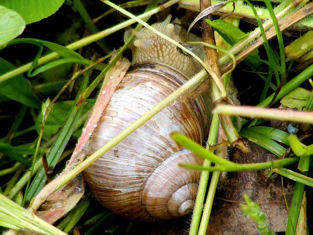 Roman Snail Helix pomatia, Loir et Cher, France. Photo by Loire Valley Time Travel.