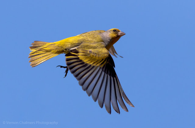 Cape Canary in Flight at Woodbridge Island