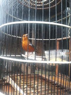 Manfaat mandi malam dan pengembunan pada burung anis merah