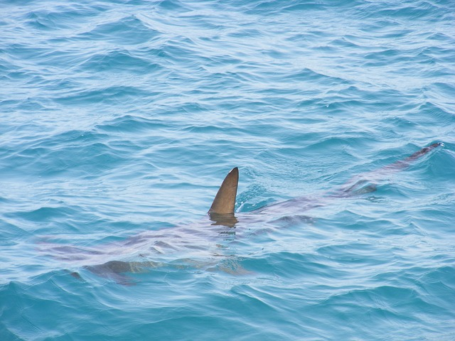 Can Sharks Smell Blood from Miles Afar