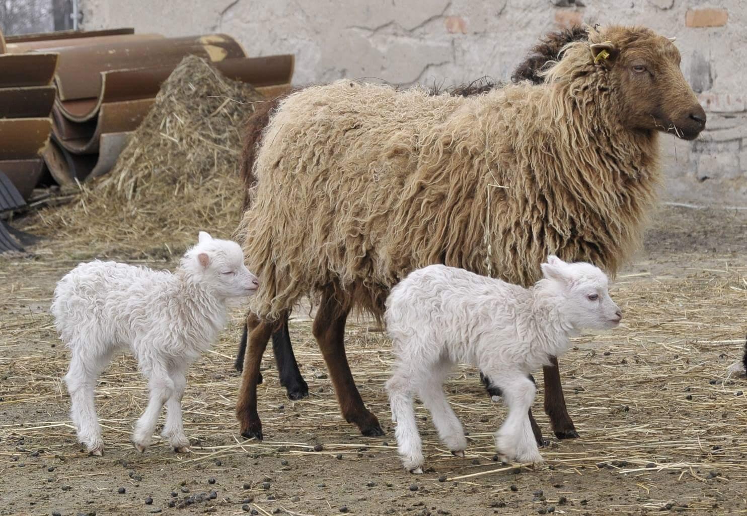 Skudde Schaf
