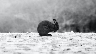 Black wallpaper rabbit HD in the snow
