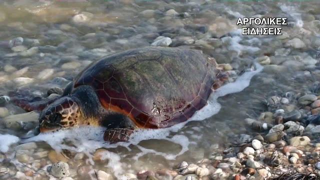 «ΑΡΧΕΛΩΝ»: Με πλαστικά στο στομάχι τους οι περισσότερες νεκρές θαλάσσιες χελώνες