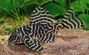 Fish Pleco