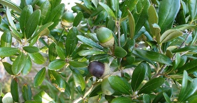 Quercus%2bvirginiana%2b14581981917_4d13a5e779_o%2b-%2bcopia