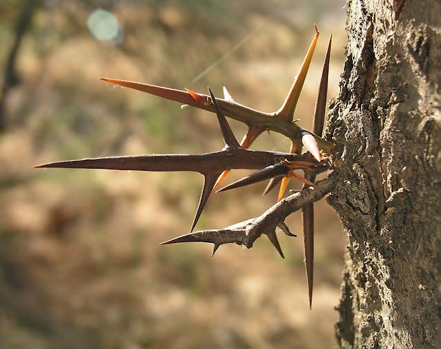 Espinas de Gleditsia, árbol urbano y de jardín