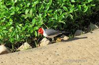 Red-crested Cardinal – Fort DeRussy Park, Oahu – © Denise Motard