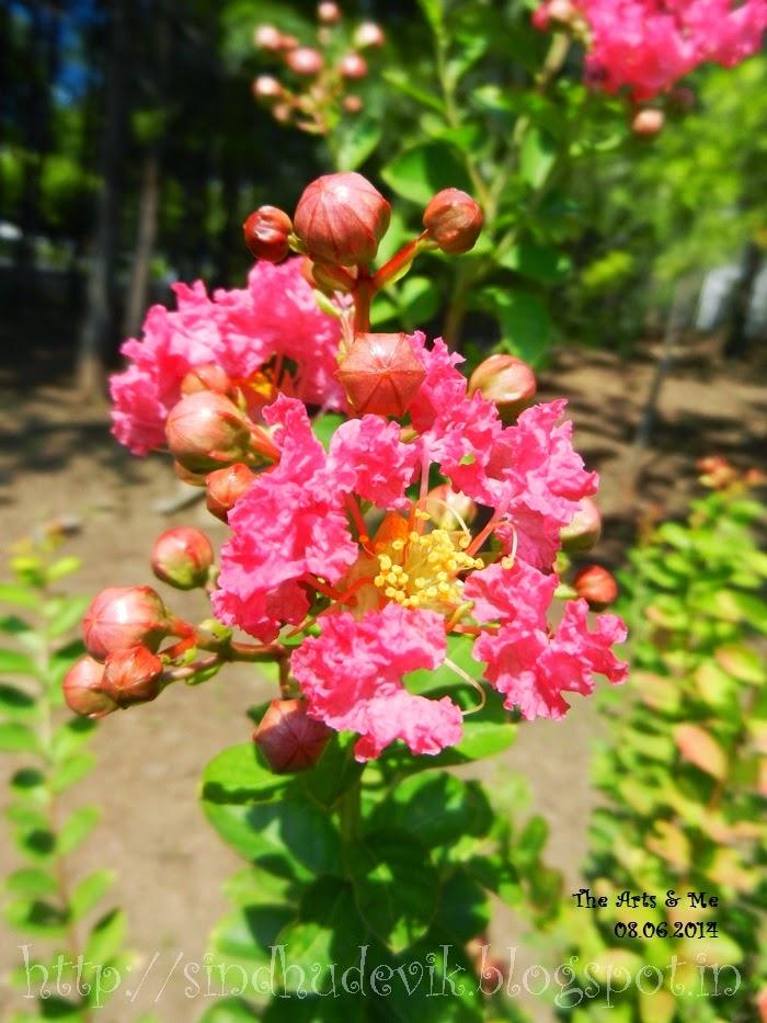 Pink Crape Myrtle in Aditi Garden, Magarpatta Inner Circle, Pune