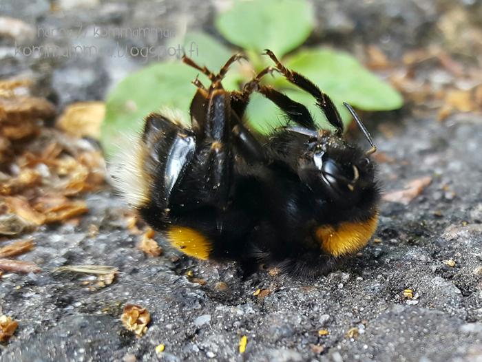 ampiainen mehiläinen kimalainen ifolor kuvakirja