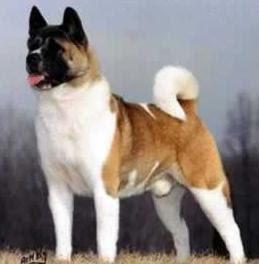 razas de perros grandes akita inu
