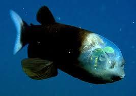 Macropinna micróstoma também de peixe fantasma