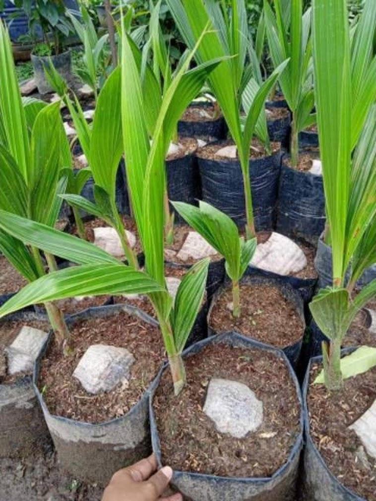 Bibit Kelapa Genjah Entok Hijau bibit kelepa kelapa entog Bitung