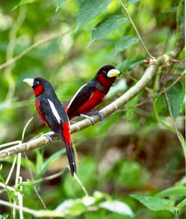 Burung sempur hujan sungai adalah satu diantara jenis burung sempur hujan yang terdapat di Indonesia. Dalam bahasa Inggrisnya,burung ini dikenal dengan Black-and-red Broadbill (Cymbirhynchus macrorhynchos)