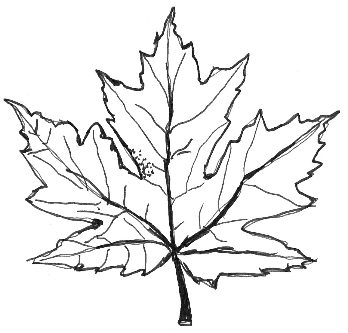 Maple Tree Leaf Coloring Page Contegricom