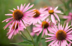 Beberapa Herbal Alami Untuk Masalah Pernapasan