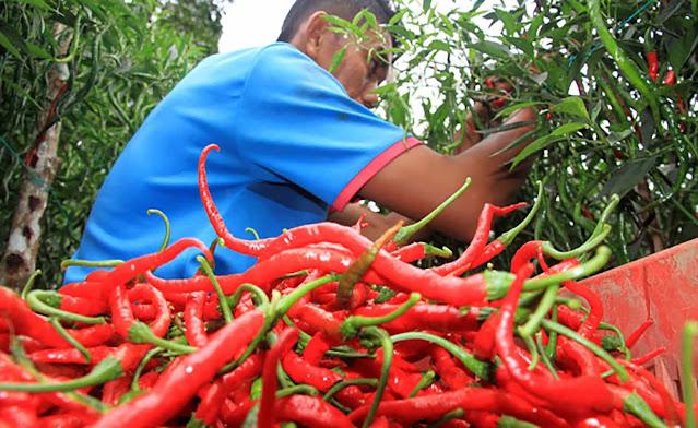 hasil budidaya perkebunan cabai merah