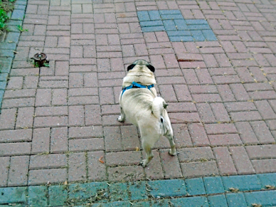 A pug in a blue harness is standing on pavers facing away from the camera