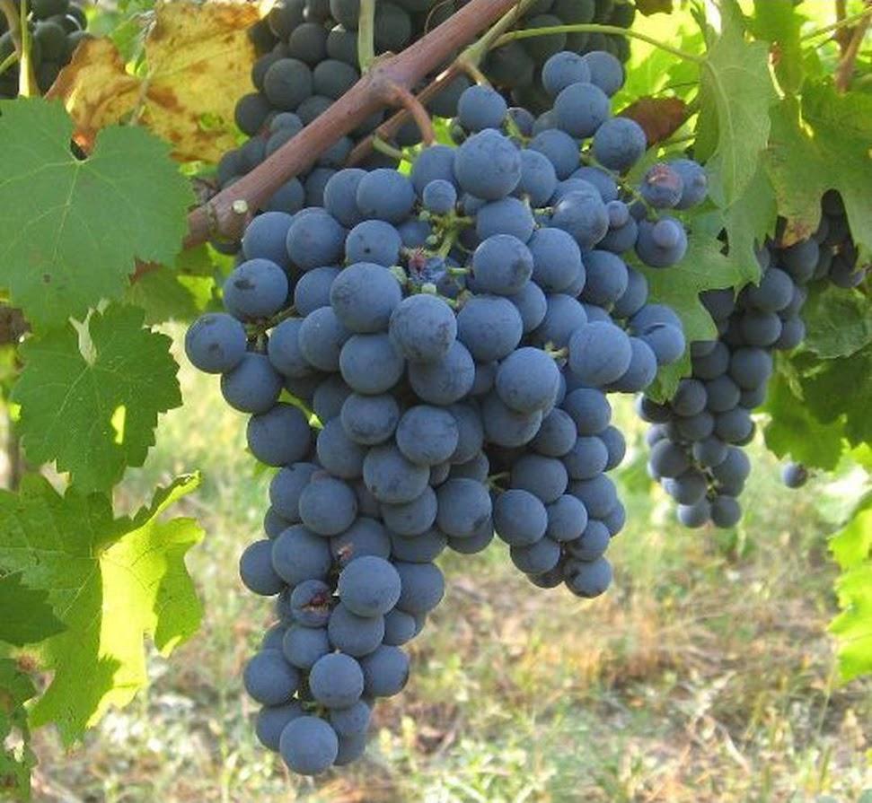 Bibit Tanaman Buah Anggur Hitam Jawa Tengah
