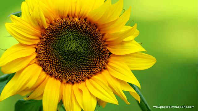 sunflower wallpaper for desktop