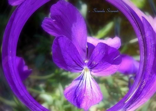 Violetta viola con il centro bianco